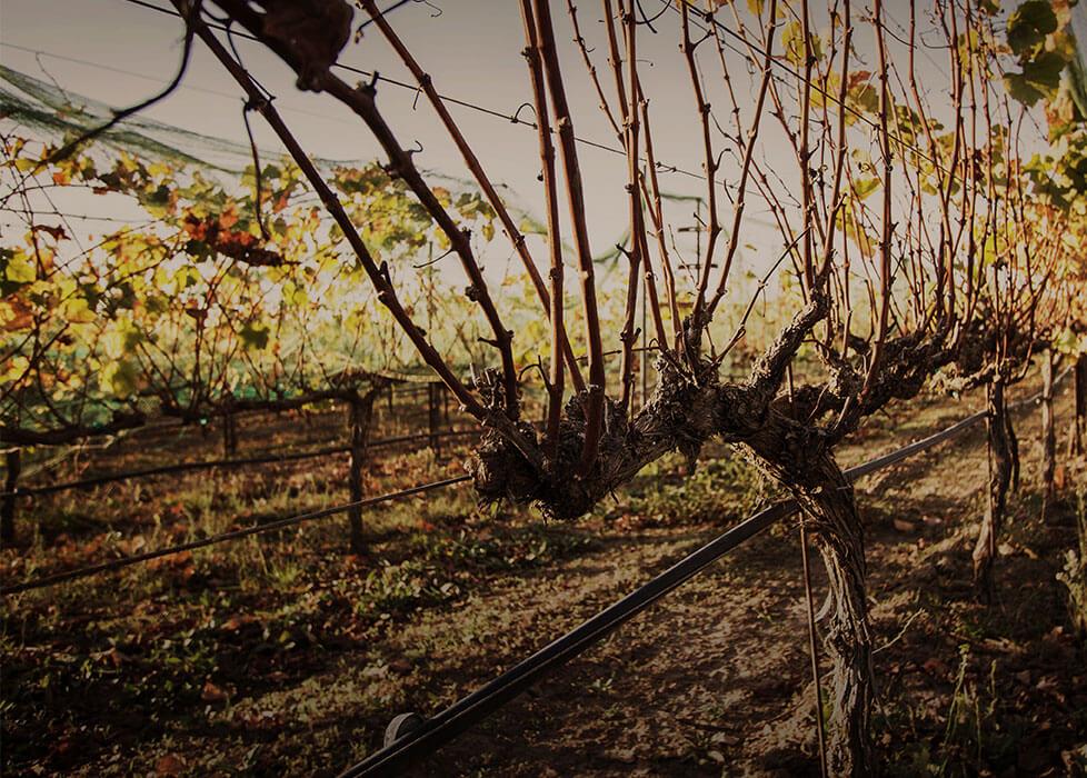 Ranchos Ontiveros Vineyard